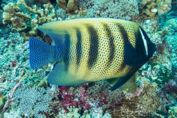 Six banded angelfish (Pomacanthus sexstriatus)