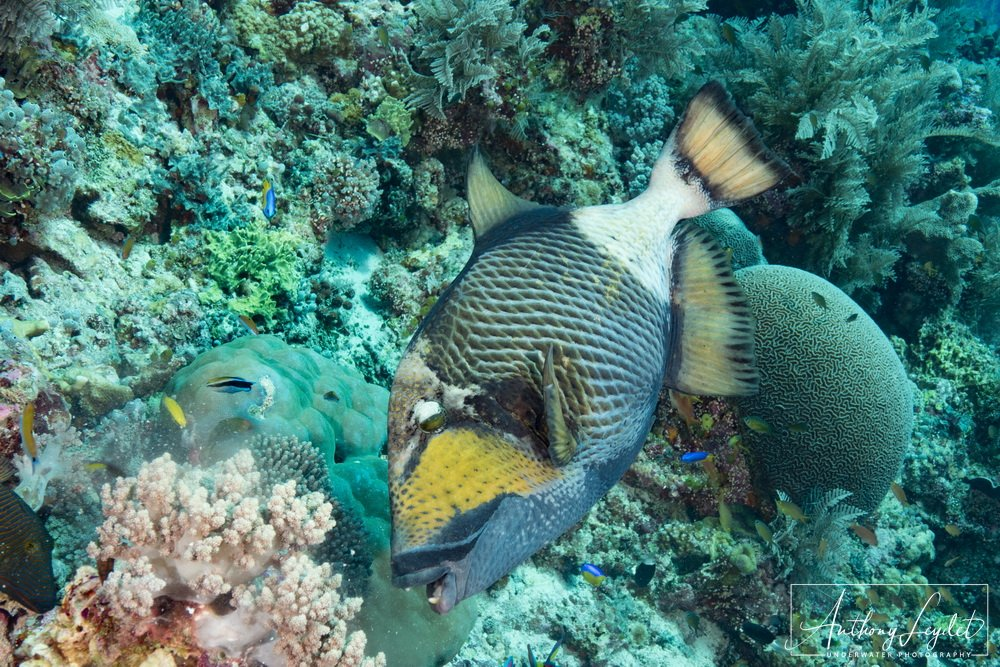 Titan triggerfish - Tubbataha reef