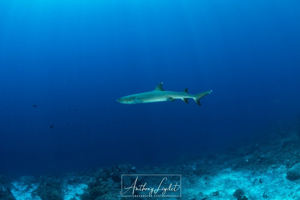Whitetips reef shark in open water