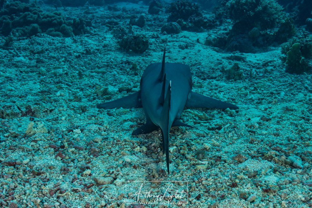 Whitetip reef Shark - Tubbataha