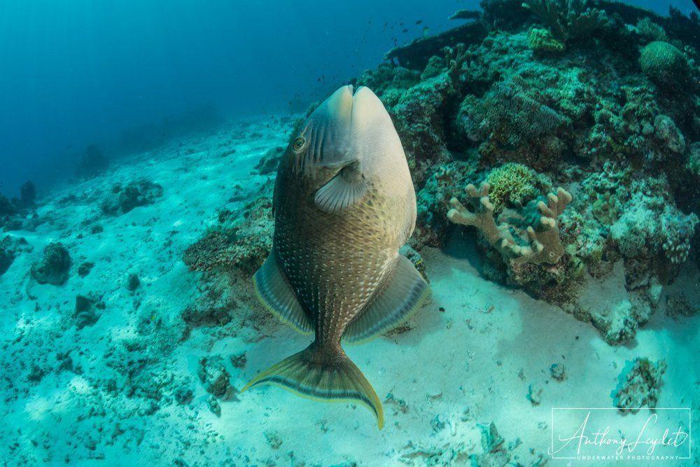Attack of a yellow margin triggerfish - Tubbataha