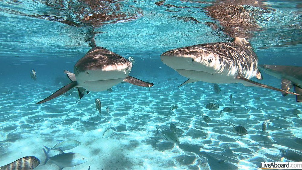 Requins de Polynésie