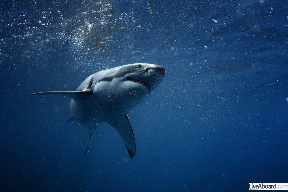 Plonger en octobre à Guadalupe pour voir les requins blancs