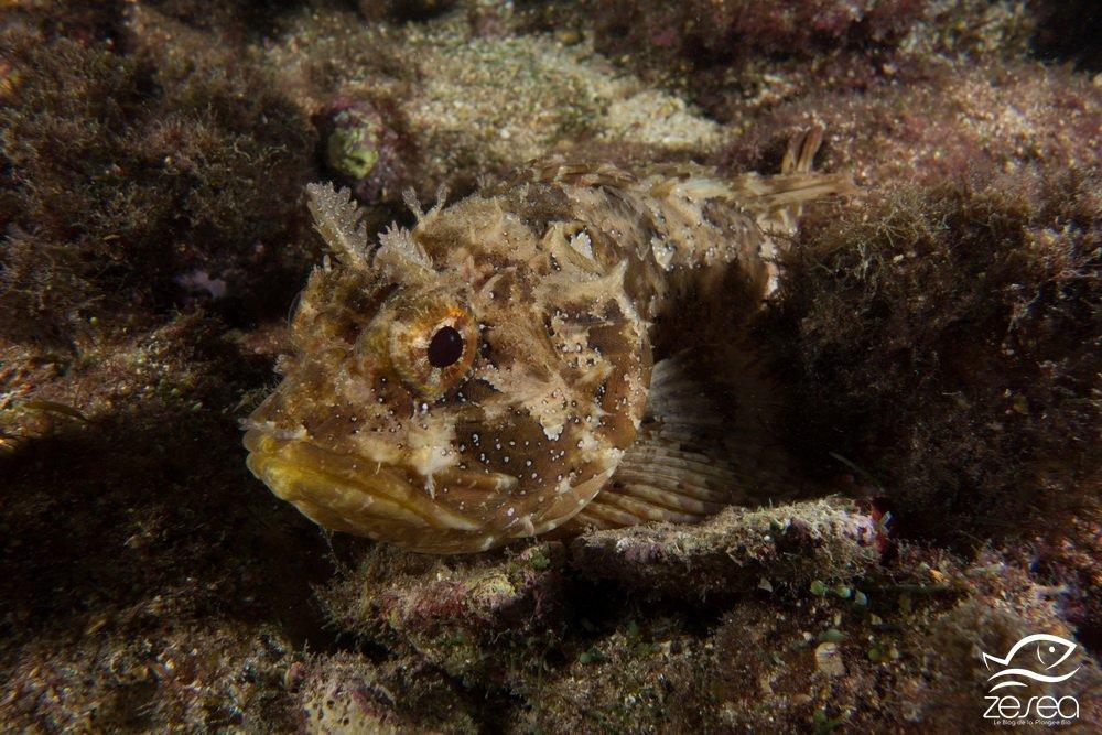 Rascasse brune - Scorpaena porcus