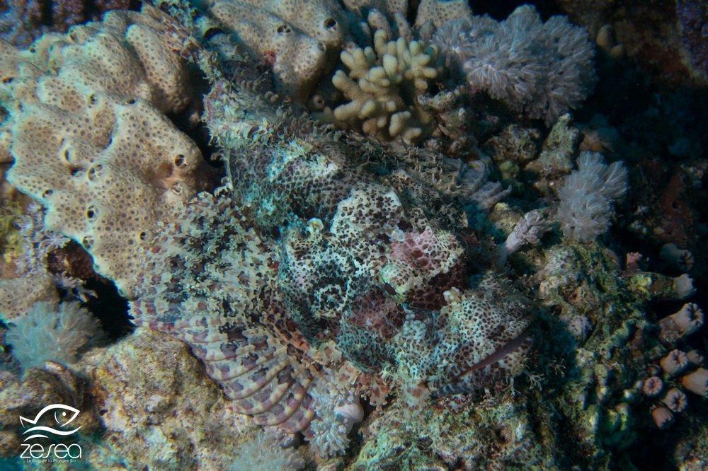 Une rascasse à tête plate camouflée dans le récif