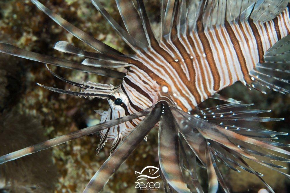 Rascasse volante de l'Océan Indien - Ptérois miles