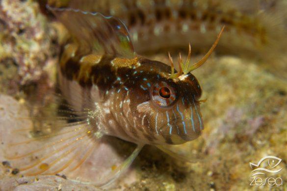 Snorkeling en Méditerranée : Blennie de Roux